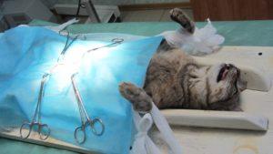 стерилизация кокши