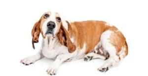 грыжа у собаки